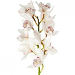 Орхидея Цимбидиум (белая)