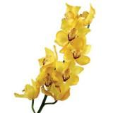 Орхидея Цимбидиум (желтая)