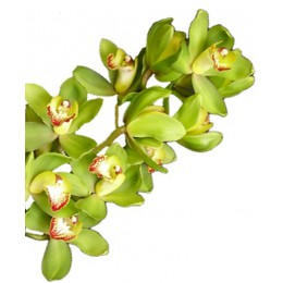 Орхидея Цимбидиум (салатовая)