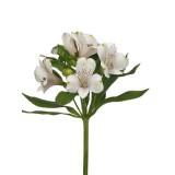 Альстромерия (белая)