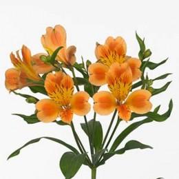 Альстромерия (оранжевая)