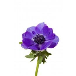 Анемон (синий) (сентябрь-май)