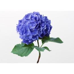 Гортензия (голубая) (март-декабрь)