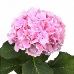 Гортензия (розовая) (март-декабрь)