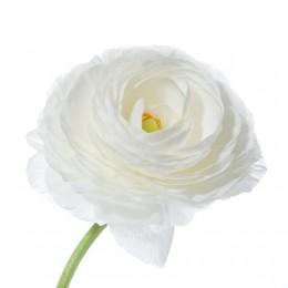 Ранункулус (белый) (октябрь-май)