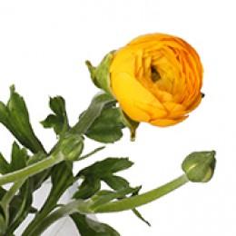 Ранункулус (желтый)  (октябрь-май)