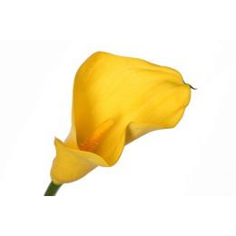 Калла (желтая) (круглый год)