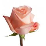 Роза Ангажамент