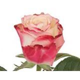 Роза Свитнесс