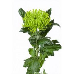Хризантема Анастасия 1 гол. (зеленая)