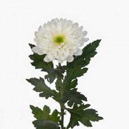 Хризантема Зембла 1 гол. (белая)
