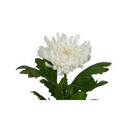 Хризантема Язу 1гол. (белая)
