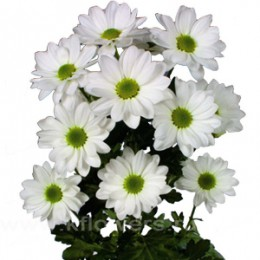 Хризантема кустовая Бакарди (белая)