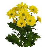 Хризантема кустовая Бакарди (желтая)