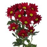 Хризантема кустовая Бакарди (красная)
