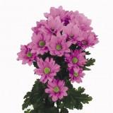 Хризантема кустовая Бакарди (сиреневая)