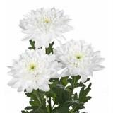 Хризантема кустовая Балтика (белая)