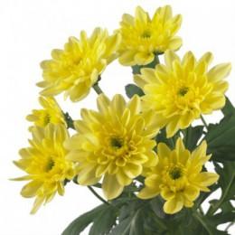 Хризантема кустовая Балтика (желтая)