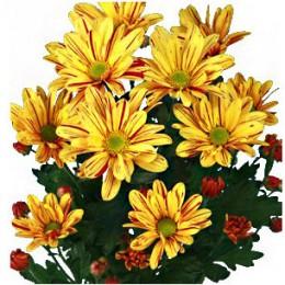 Хризантема кустовая Джорди