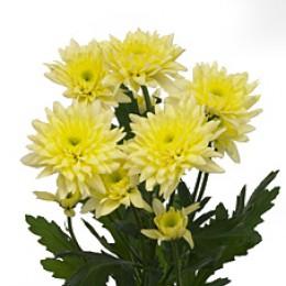 Хризантема кустовая Зембла (лимонная)