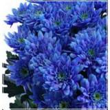 Хризантема кустовая Зембла (синяя)