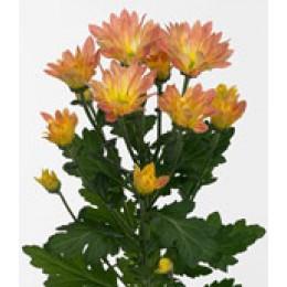 Хризантема кустовая Пасоа Салмон