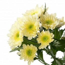 Хризантема кустовая Радость