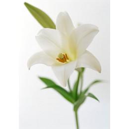 Лилия (белая)