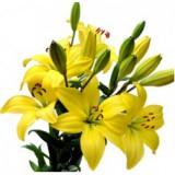 Лилия (желтая)