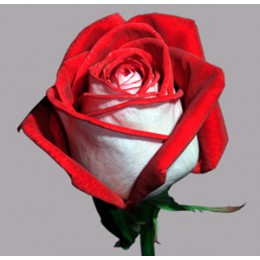 Роза Луксор